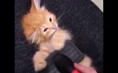 Kitten geniet van een borstel beurt