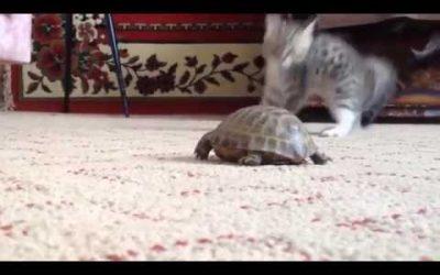 Kitten neemt het op tegen Schilpad