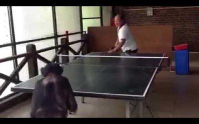 Tafeltennis met een chimpansee